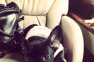 In Celebration Of Asia, Lady Gaga's Adorable French Bulldog: 20 Cute Pics
